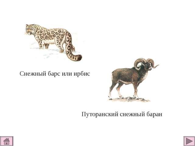 Снежный барс или ирбис Путоранский снежный баран
