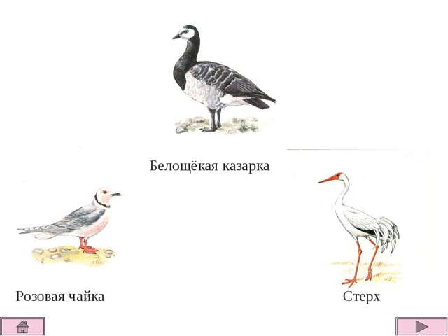 Белощёкая казарка Стерх Розовая чайка