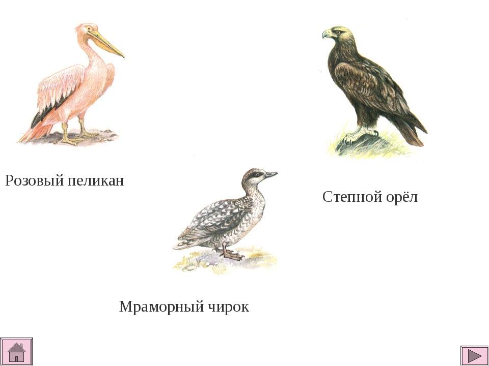 Розовый пеликан Степной орёл Мраморный чирок