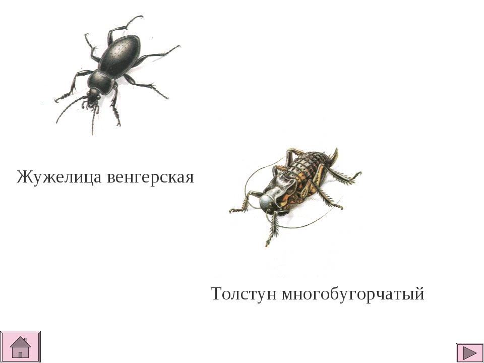 Жужелица венгерская Толстун многобугорчатый