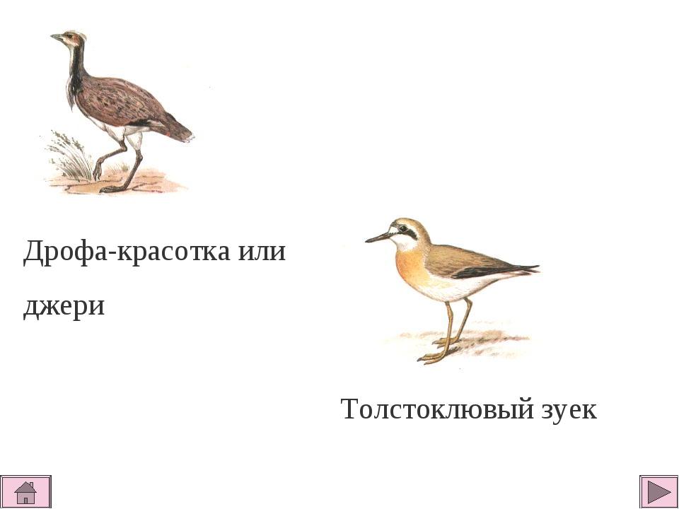 Дрофа-красотка или джери Толстоклювый зуек