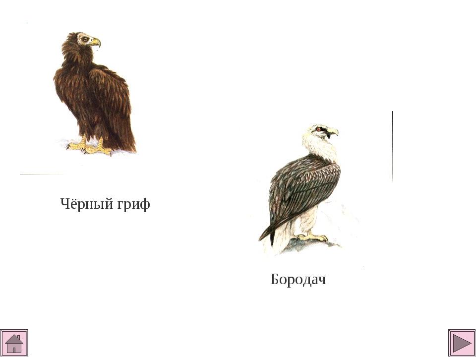 Чёрный гриф Бородач