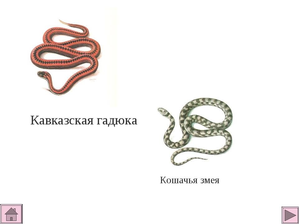 Кавказская гадюка Кошачья змея
