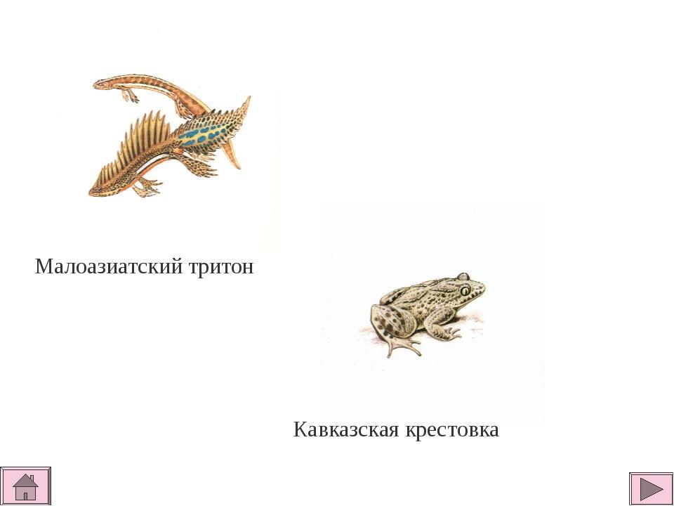 Малоазиатский тритон Кавказская крестовка