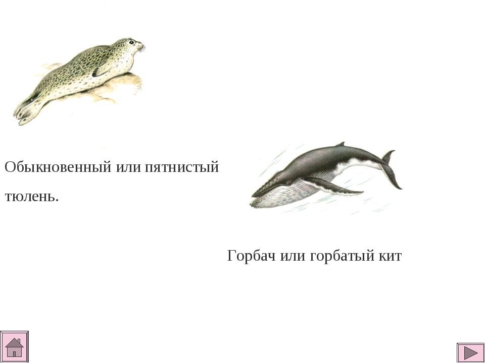 Обыкновенный или пятнистый тюлень. Горбач или горбатый кит