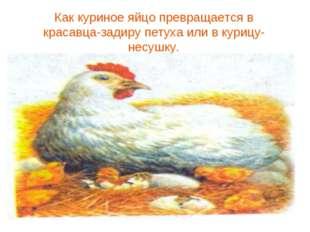 Как куриное яйцо превращается в красавца-задиру петуха или в курицу-несушку.