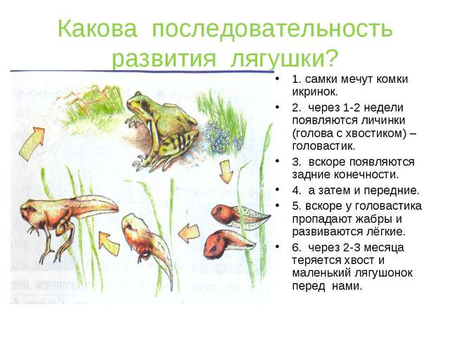 Какова последовательность развития лягушки? 1. самки мечут комки икринок. 2....