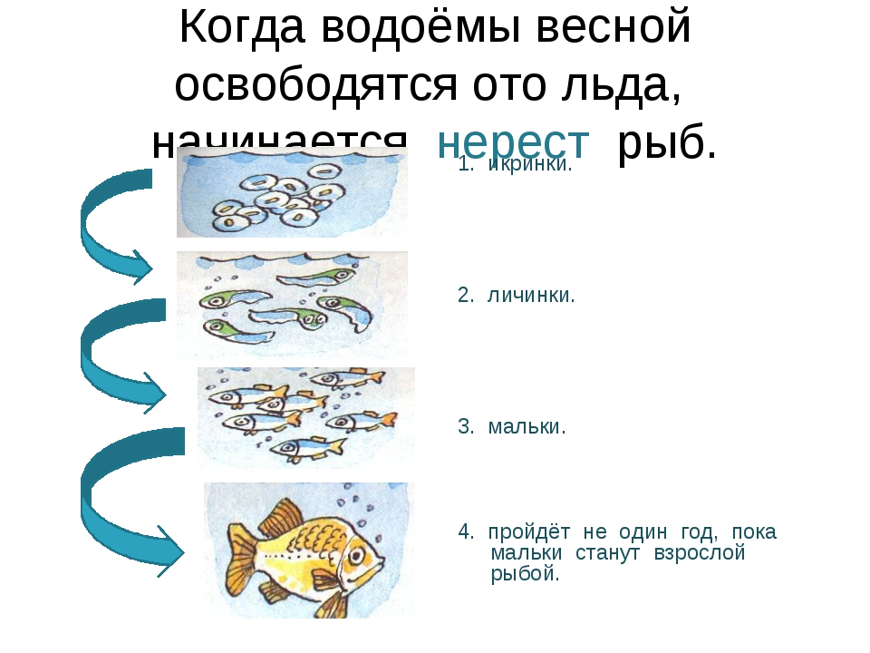 Когда водоёмы весной освободятся ото льда, начинается нерест рыб. 1. икринки....