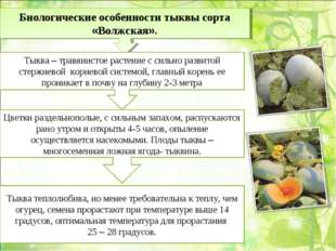 Биологические особенности тыквы сорта «Волжская». Тыква – травянистое растени