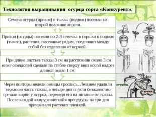 Технология выращивания огурца сорта «Конкурент». Семена огурца (привоя) и тык