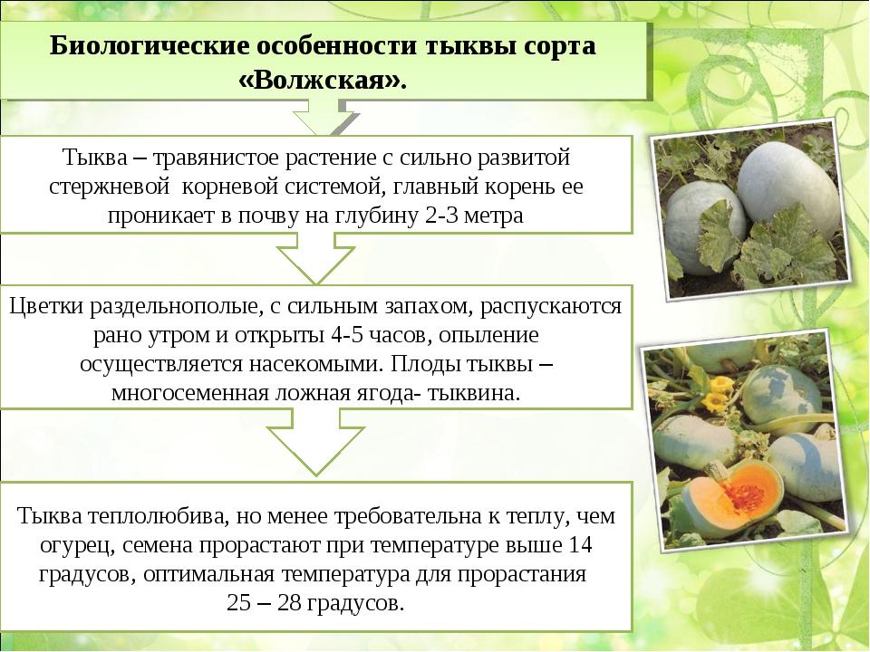 Биологические особенности тыквы сорта «Волжская». Тыква – травянистое растени...