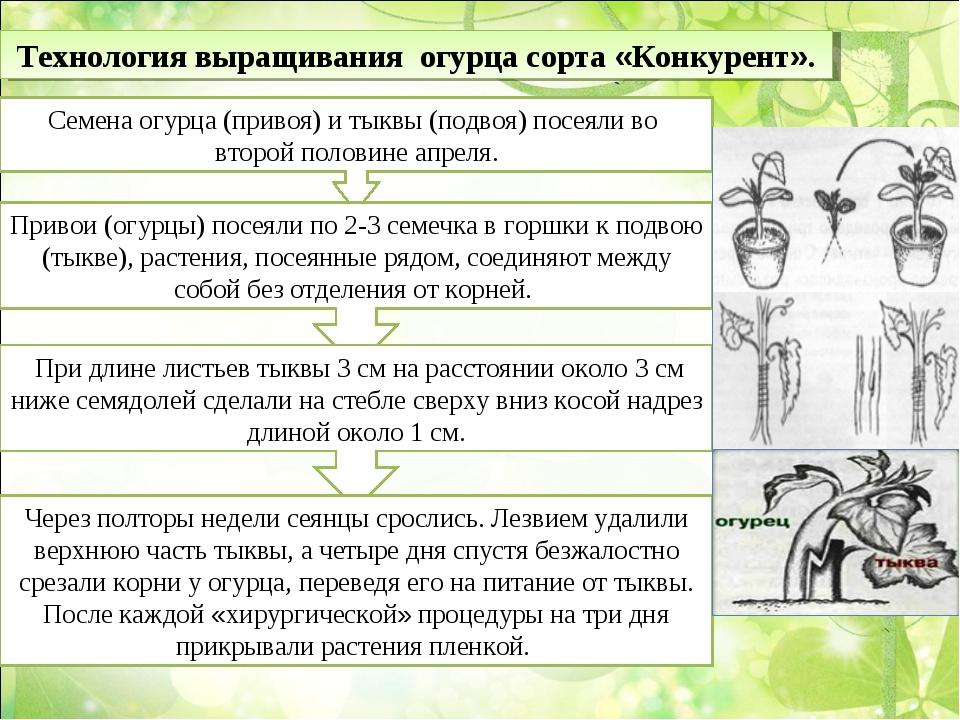 Технология выращивания огурца сорта «Конкурент». Семена огурца (привоя) и тык...