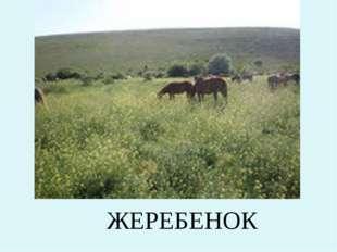 ЖЕРЕБЕНОК