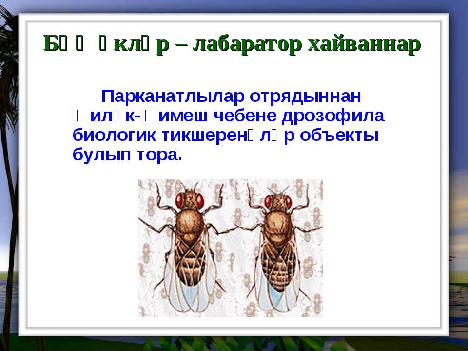 Бөҗәкләр – лабаратор хайваннар Парканатлылар отрядыннан җиләк-җимеш чебене...