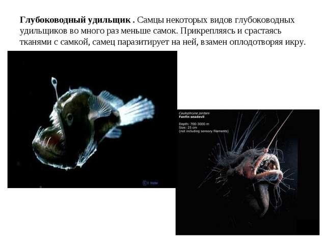Глубоководный удильщик . Самцы некоторых видов глубоководных удильщиков во мн...