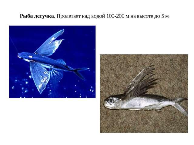 Рыба летучка. Пролетает над водой 100-200 м на высоте до 5 м