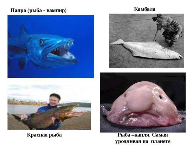 Паяра (рыба - вампир) Красная рыба Рыба –капля. Самая уродливая на планете Ка...