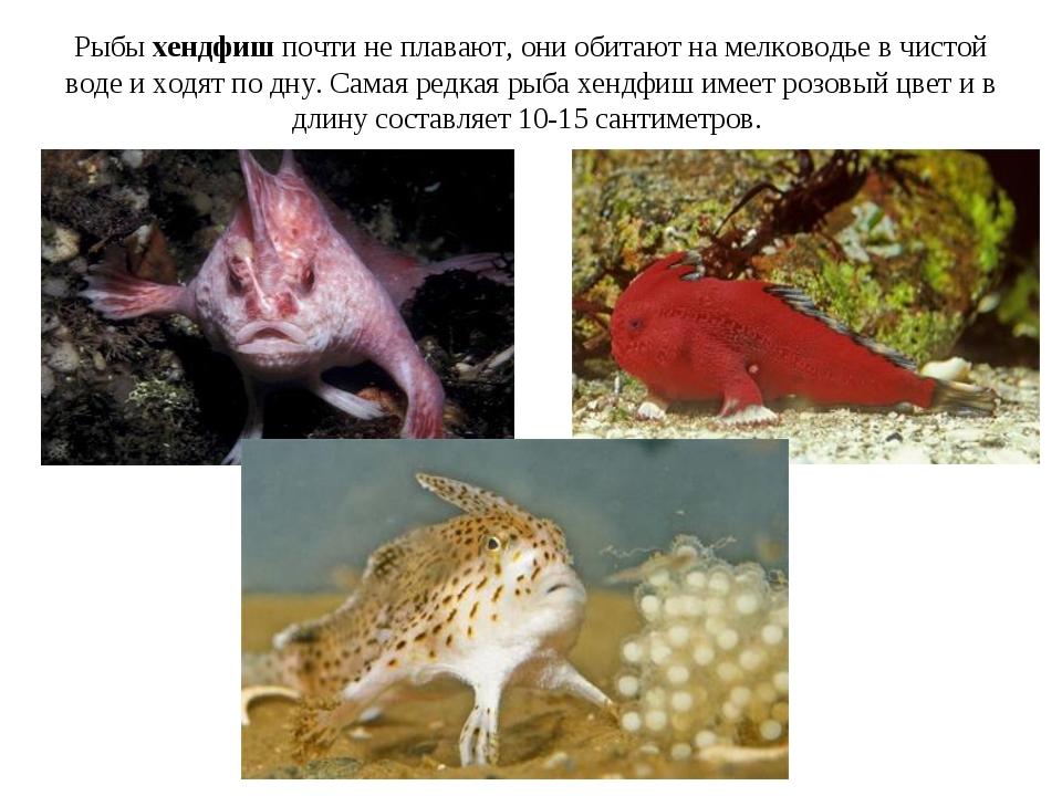 Рыбы хендфиш почти не плавают, они обитают на мелководье в чистой воде и хо...