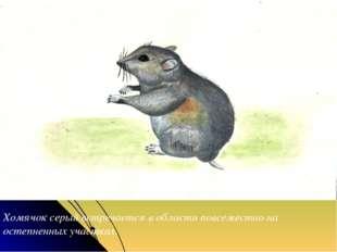 Хомячок серый встречается в области повсеместно на остепненных участках.