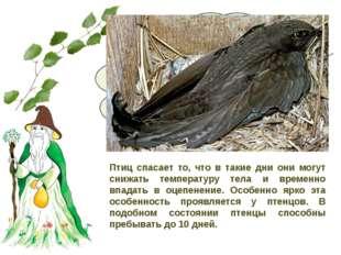 В ненастье летающих насекомых мало, и прокормиться черным стрижам трудно. Чт