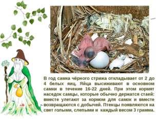 Сколько яиц откладывает в год самка чёрного стрижа? В год самка чёрного стриж