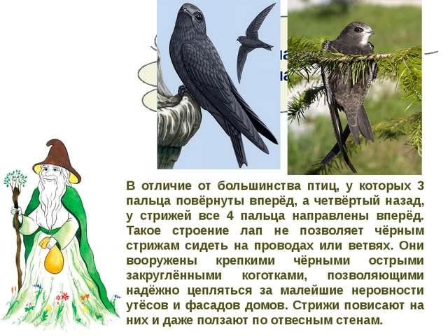 Сколько пальцев у стрижа на лапе? В отличие от большинства птиц, у которых 3...