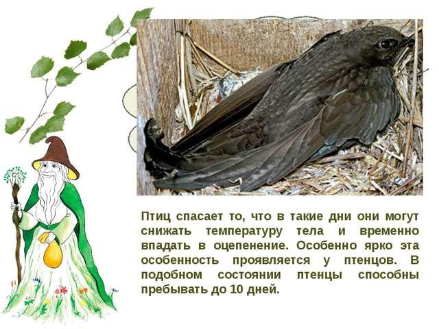 В ненастье летающих насекомых мало, и прокормиться черным стрижам трудно. Чт...