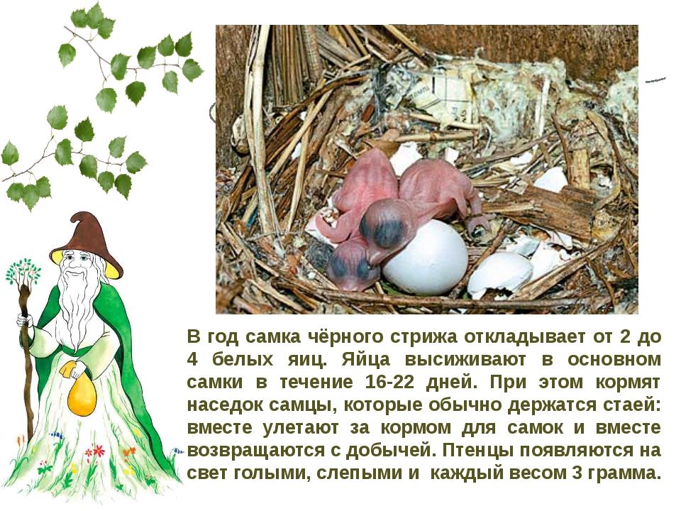Сколько яиц откладывает в год самка чёрного стрижа? В год самка чёрного стриж...