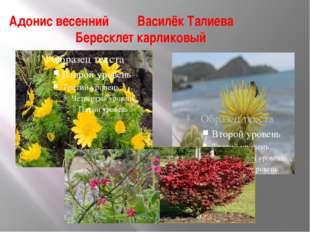 Адонис весенний Василёк Талиева Бересклет карликовый