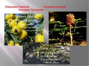 Боярышник Поярковой Гнездовка настоящая Клоповник Турчанинова