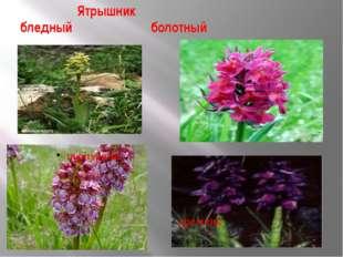 Ятрышник бледный болотный пурпурный дремлик