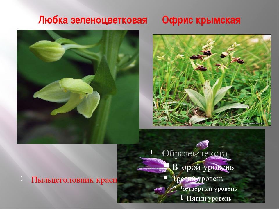 Любка зеленоцветковая Офрис крымская Пыльцеголовник красный