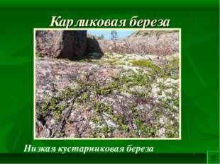 Карликовая береза Низкая кустарниковая береза