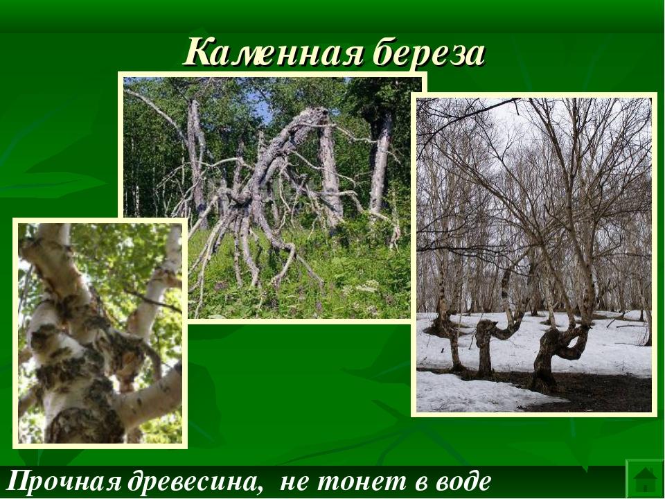 Каменная береза Прочная древесина, не тонет в воде
