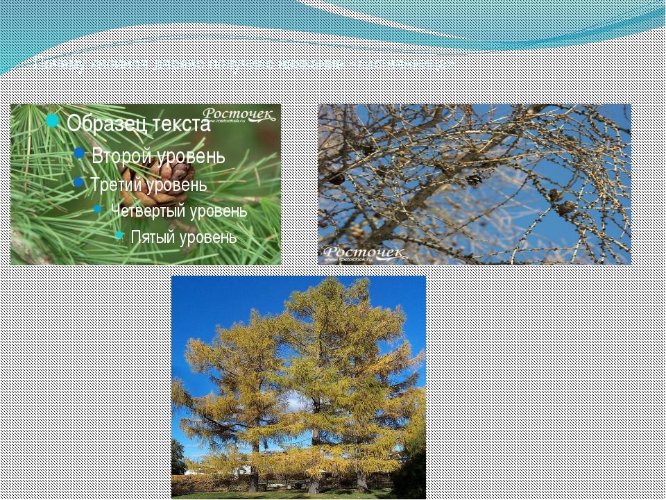 Почему хвойное дерево получило название «лиственница»
