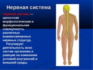 Нервная система Нервная система — целостная морфологическая и функциональная