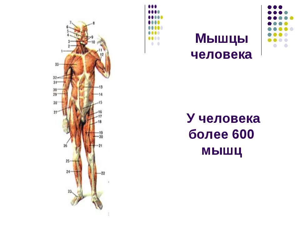 Мышцы человека У человека более 600 мышц