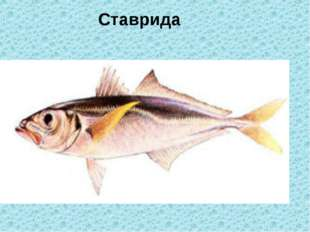 Ставрида