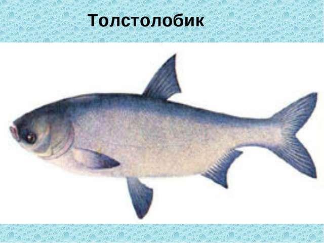 Толстолобик