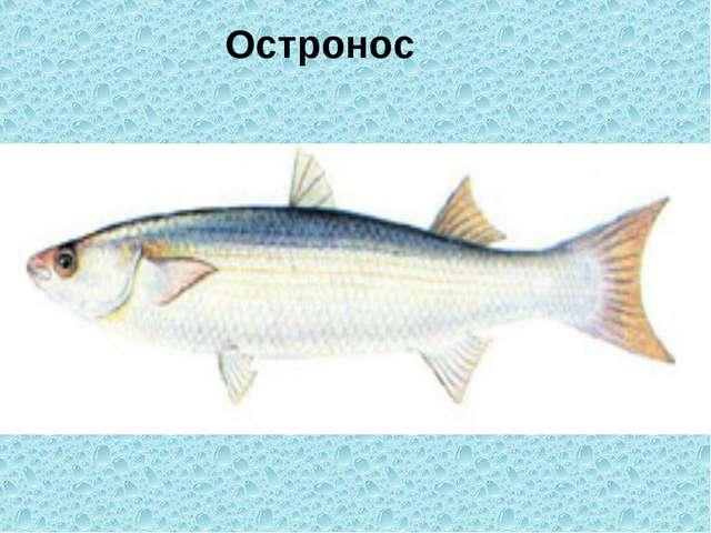 Остронос