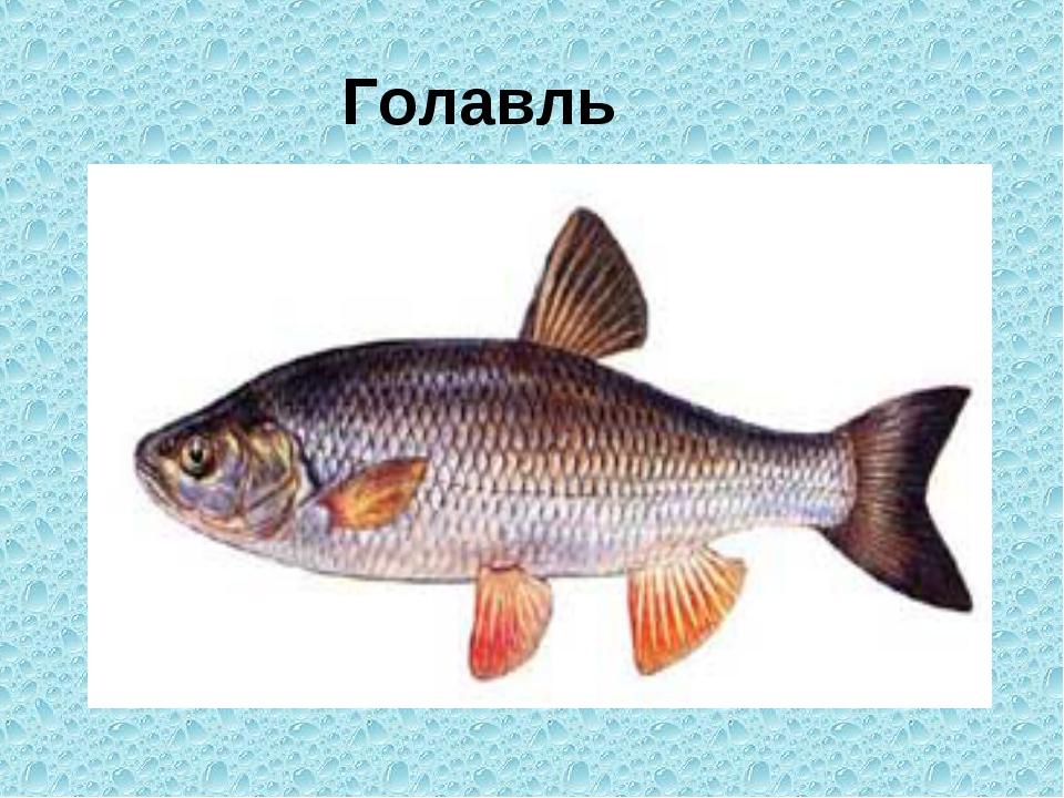 Голавль