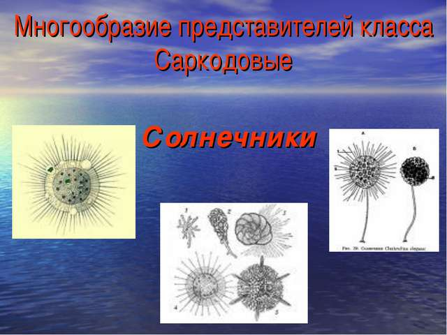 Многообразие представителей класса Саркодовые Солнечники