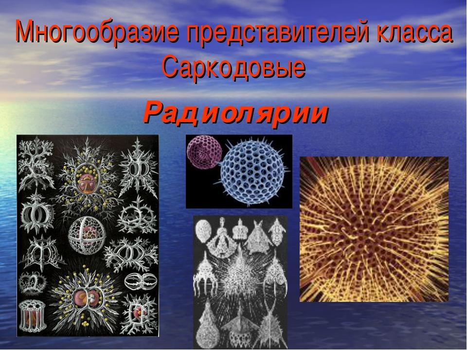 Многообразие представителей класса Саркодовые Радиолярии