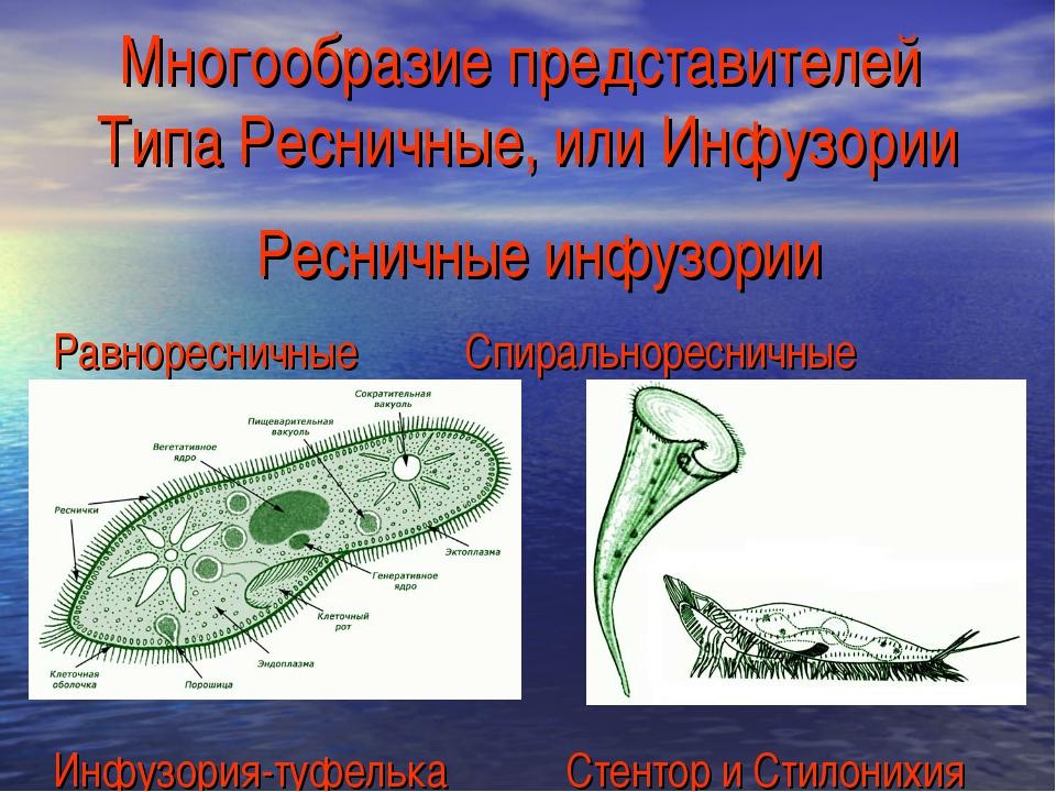 Многообразие представителей Типа Ресничные, или Инфузории Ресничные инфузории...