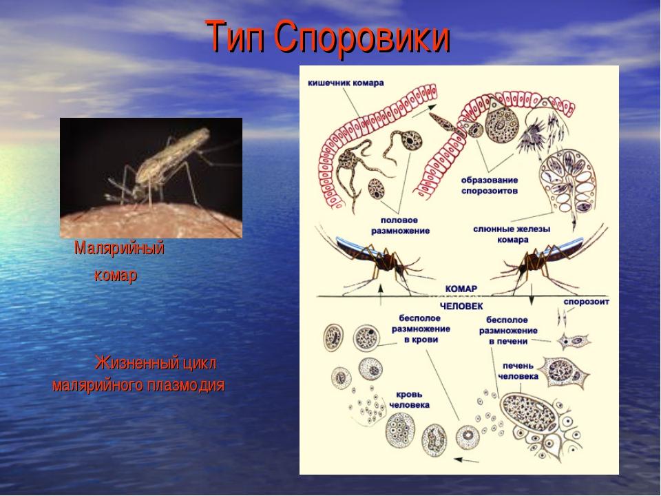 Тип Споровики Малярийный комар Жизненный цикл малярийного плазмодия