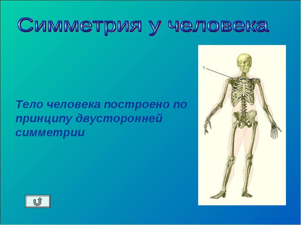 Тело человека построено по принципу двусторонней симметрии
