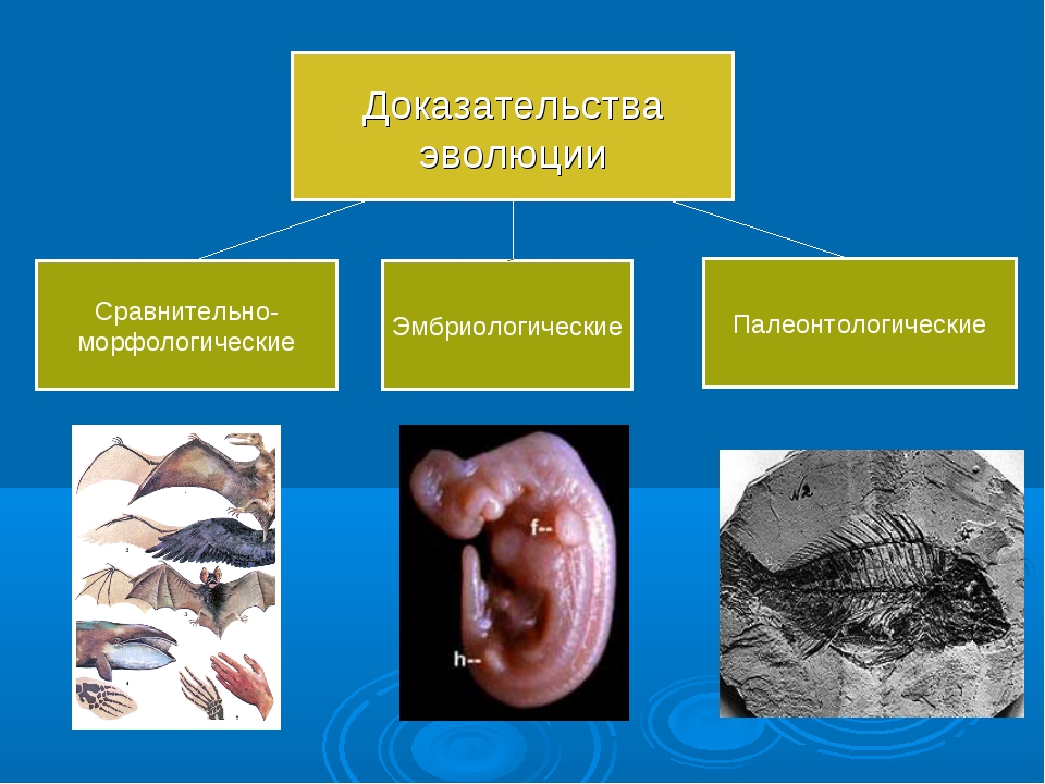 Сравнительно- морфологические Эмбриологические Палеонтологические Доказательс...