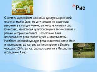 Рис Одним из древнейших злаковых культурных растений планеты, может быть, не