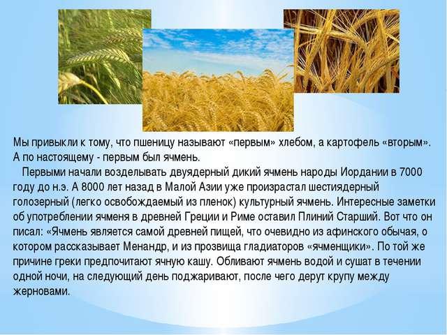 Мы привыкли к тому, что пшеницу называют «первым» хлебом, а картофель «вторым...