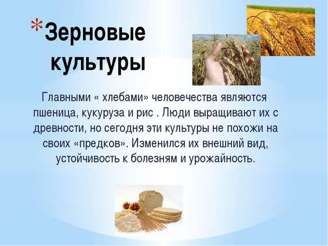 Зерновые культуры Главными « хлебами» человечества являются пшеница, кукуруза...